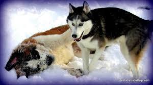st b and husky